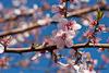 Zweige mit rosa-weißen Blüten. Im Hintergrund der tiefblaue Himmel.
